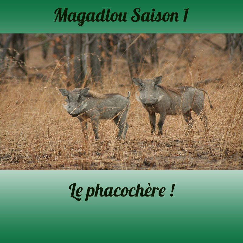 MAGADLOU S1 Le phacochère