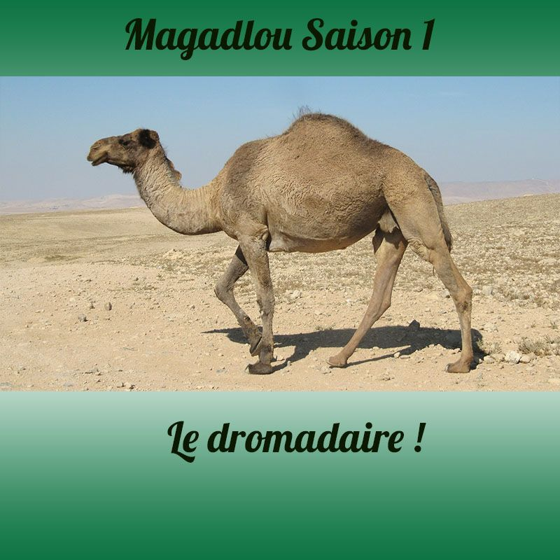 MAGADLOU S1 Le dromadaire